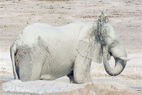 Glistening white elephant looks majestic as it cools off